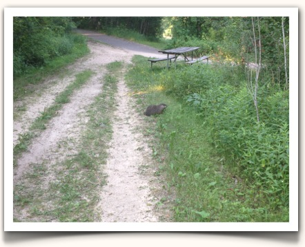 Woodchuck visiting Pine Point trailhead
